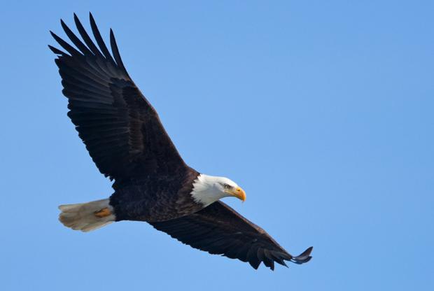 Record Eagles migrate to Lake Coeur d'Alene